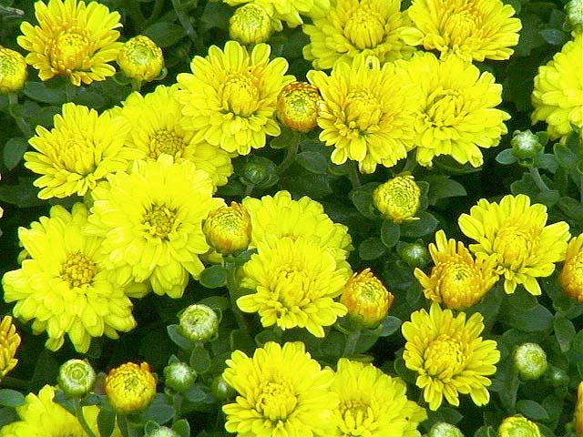 chao hoa cuc